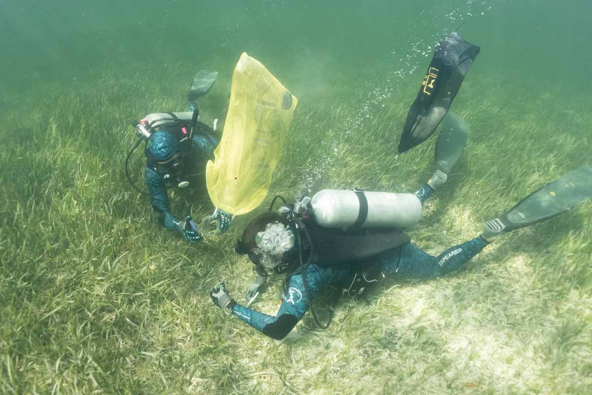 Sampling seagrass samples for Gambierdiscus